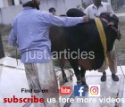 cow qurbani in A2