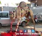 camel run during qurbani HD