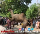 beautiful camel qurbani 2019 gujranwala A1