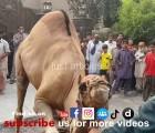 Heavy camel qurbani 2014 in wapda town HD