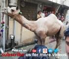 camel qurbani 2019 city gujranwala
