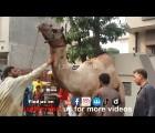 beautiful camel qurbani at wapda town