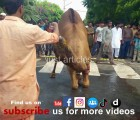 camel qurbani in b3 gujranwala 2015