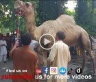 camel qurbani a1 block gujranwala 2015