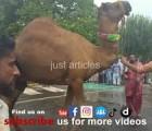 heavy camel qurbani b3 main market 2015