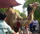 camel qurbani in a2 main road gujranwala