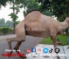 camel qurbani in B1 gujranwala 2015