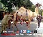 camel qurbani c1 road gujranwala 2013