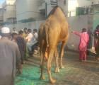 most beauriful camel qurbani in b3 gujranwala