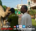 camel qurbani in a2 near marriage hall 2015