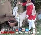 beautiful bakra qurbani gujranwala 2020