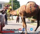 jumping camel qurbani HD