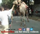 latest camel qurbani HD
