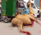 camel ran after qurbani 2020