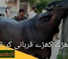 super heavy buffalo qurbani
