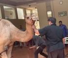 camel qurbani in wapda town house