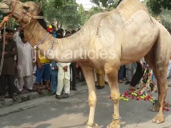 camel kicked during qurbani