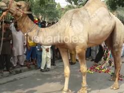 camel kicked during qurbani