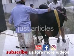 cow qurbani in A2