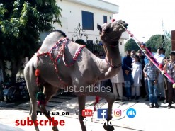 camel qurbani in gujranwala 2012