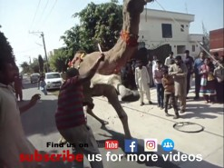 out of control camel qurbani 2017