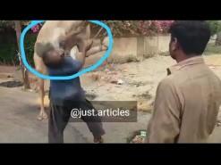 اونٹ نے قصائی کا منہ اڑا دیا || camel kicked during qurbani