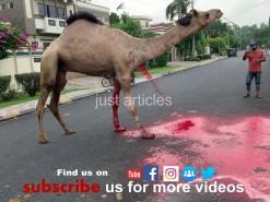 most beautiful camel qurbani 2019 || رسی کے بغیر اونٹ کی قربانی