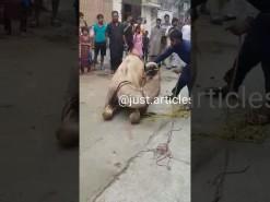 camel run during qurbani 2019