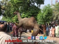 beautiful camel qurbani 2019 gujranwala A1