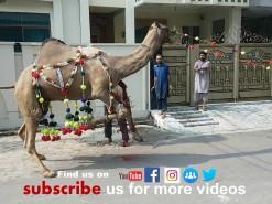 camel qurbani 2019 C1 gujranwala