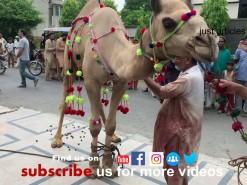 2019 camel qurbani in gujranwala