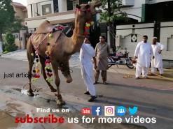 camel qurbani in A2 Pakistan