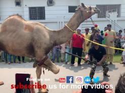 second day camel qurbani 2019