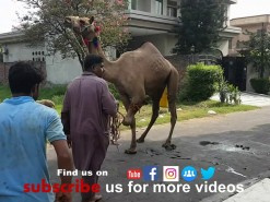 second day camel qurbani 2019 Pakistan