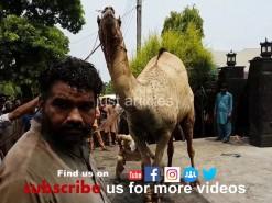 beautiful camel qurbani HD 2019 in gujranwala