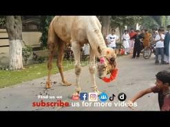 camel qurbani 2014 HD in gujranwala