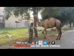camel qurbani b2 gujranwala 2019