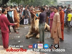 Beautiful # camel # qurbani #Gujranwala #2014 #2019