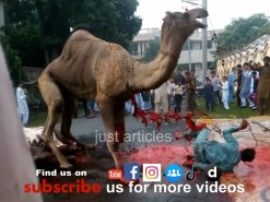 جب ایک ساتھ دو اونٹ کی قربانی کرو گے تو یہی ہو گا // Dangerous camel qurbani in Gujranwala wapda town