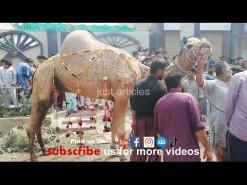 very beautiful camel qurbani 2019 HD