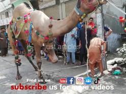 camel qurbani 2019 in city gujranwala 2nd day
