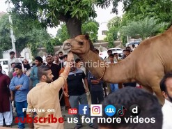 رسی کے بغیر اونٹ کی قربانی // HD camel qurbani in wapda town