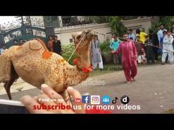 camel qurbani on eid 2014