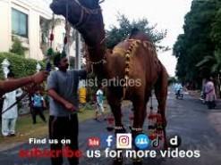 CAMEL QURBANI-EID-UL-AZHA 2020-Bakra eid 2020