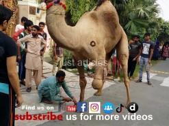 camel qurbani 2014 bakra eid