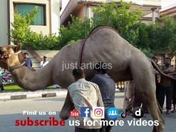 beautiful camel qurbani in b4 2015