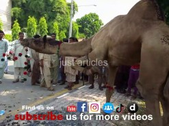 camel qurbani a1 main road 2015