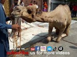 camel qurbani c1 2015 HD