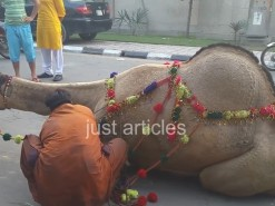 camel qurbani in b2 main road 2015