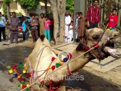 camel qurbani a1 near hospital 2015 full single